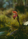 Cordillera Apolobamba Traverse (from Pelechuco): Orchid - © John Benson