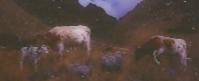 Wounded calf - © John Benson