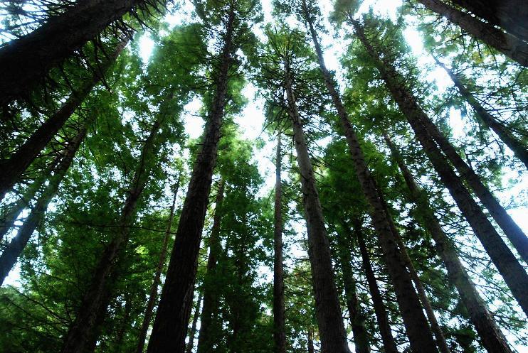 USA California, Californian Redwoods, Californian Redwoods, Walkopedia