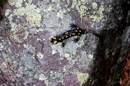 France Corsica, GR20, Fire Salamander, Walkopedia