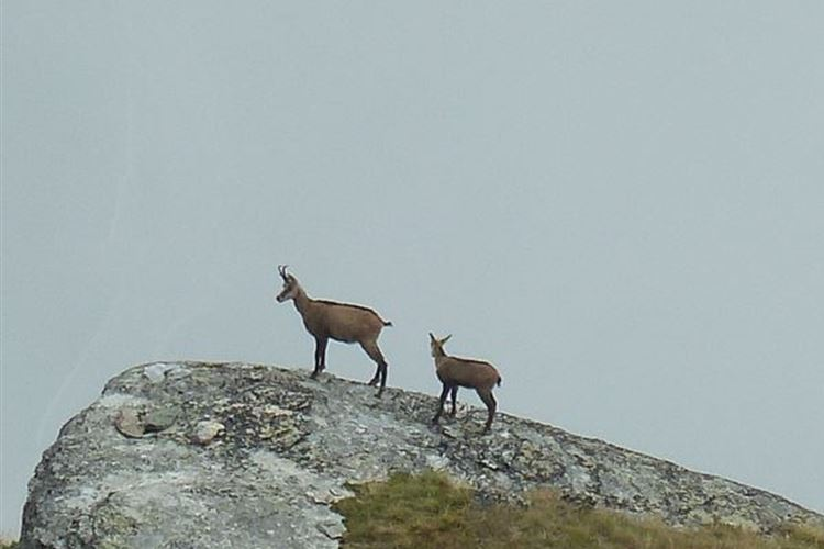 Chamois below path above Jungen - 2nd September 2015 - © Dick Everard