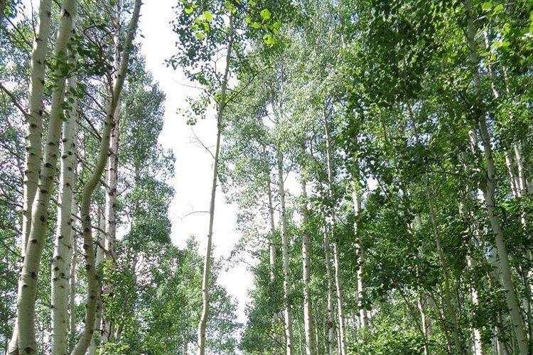 Maroon Bells: Aspen trees - © Calvin Dotsey