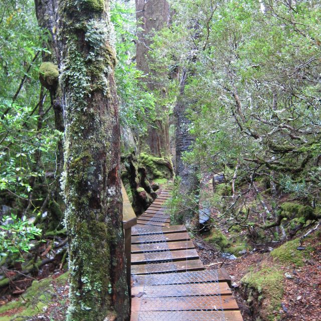 Cradle Mountain - very wet forest, approach From Waldheim hut - © Copyright William Mackesy
