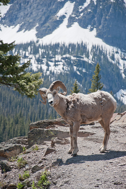 Grinnell Glacier Trail - Bighorn sheep on the trail - © Copyright Flickr User jeremy bronson