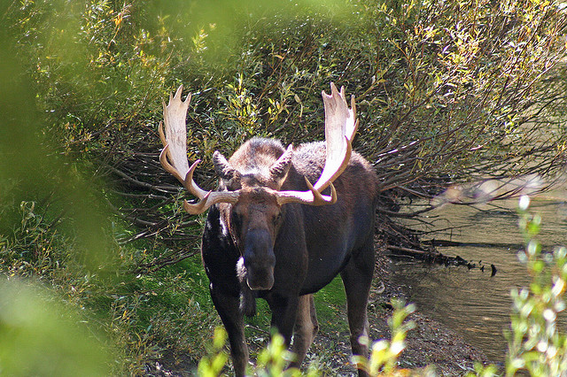 Paintbrush/Cascade Loop: Paintbrush/Cascade - Bull Moose in Cascade Canyon - © Copyright Flickr User dicktay2000
